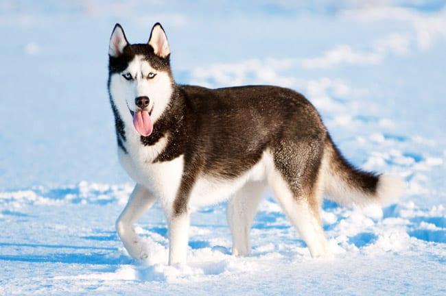 Siberian husky hunderasse portrait