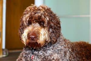 labradoodle_hybridhund