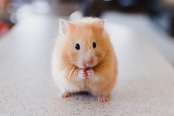 wie_alt_werden_hamster