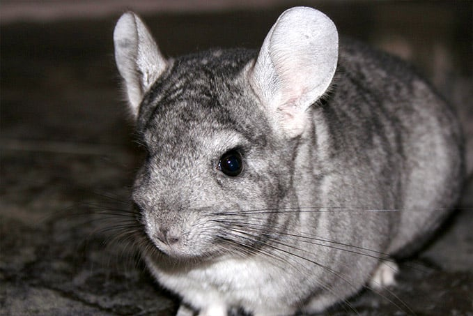 Chinchilla_haustier