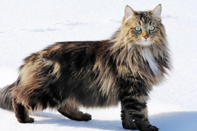 Norwegische Waldkatze Eine Detaillierte Rassenbeschreibung