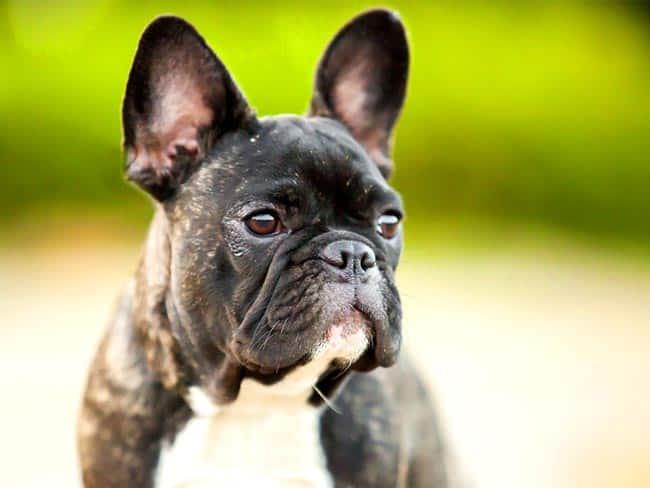 Französische Bulldogge Eine Detaillierte Rassenbeschreibung