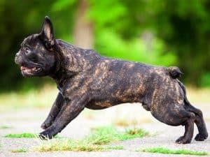 französische-bulldogge-portrait