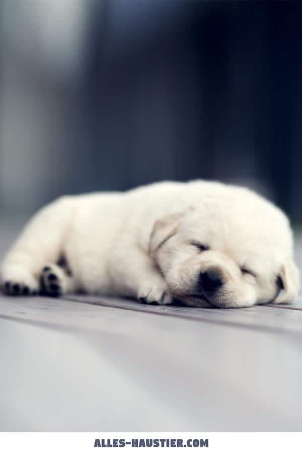 Süßer Labrador Welpe schläft
