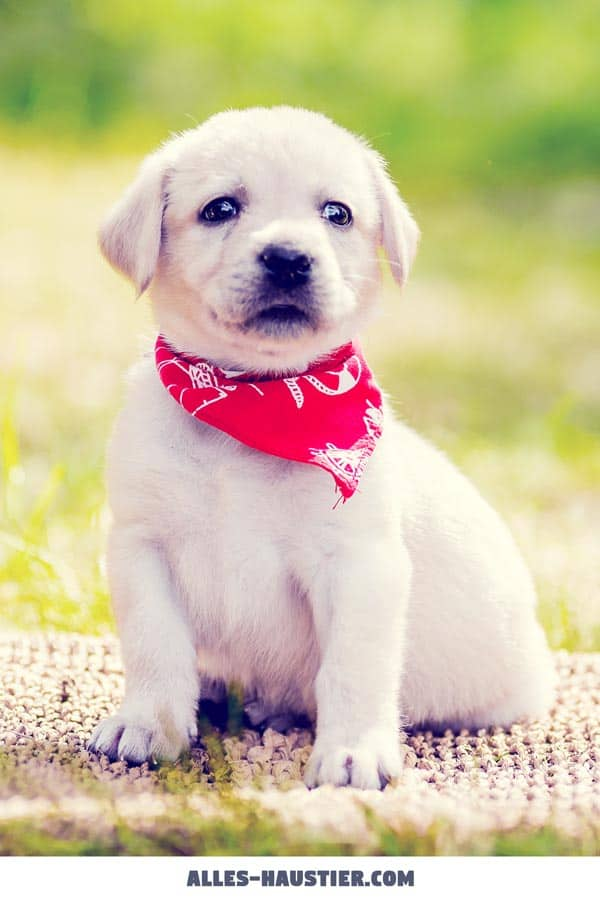 Welpen Hund Labrador Retriever süße Bilder