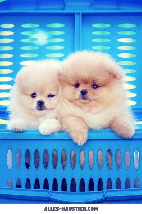 Zwei Pomeranian Zwergspitz Welpen