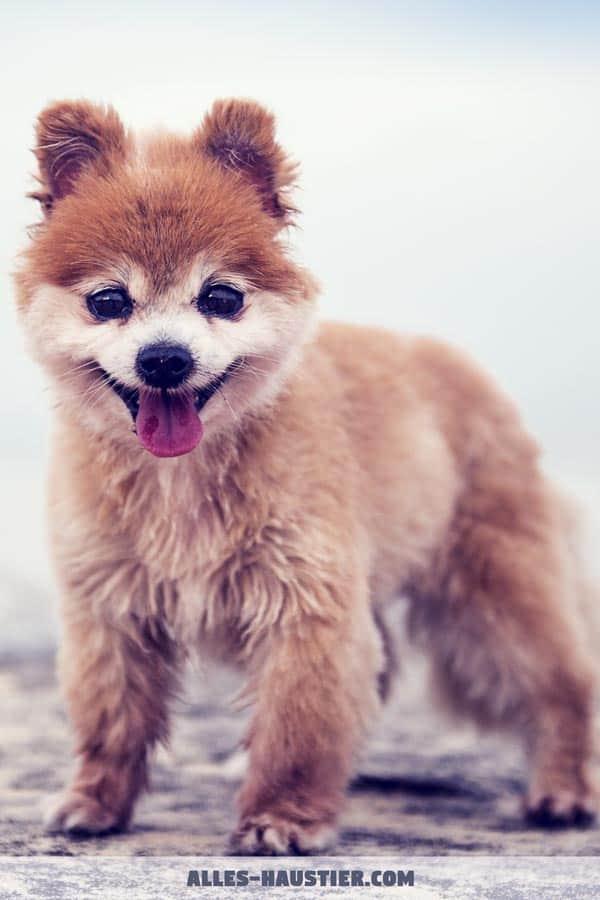 Goldig süß Welpe Hund