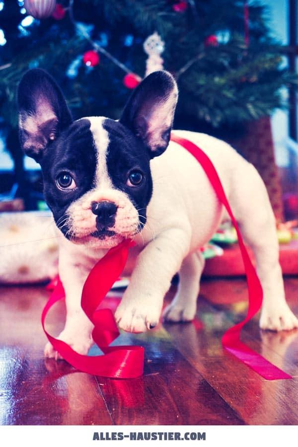 Süße Französische Bulldogge Weihnachten