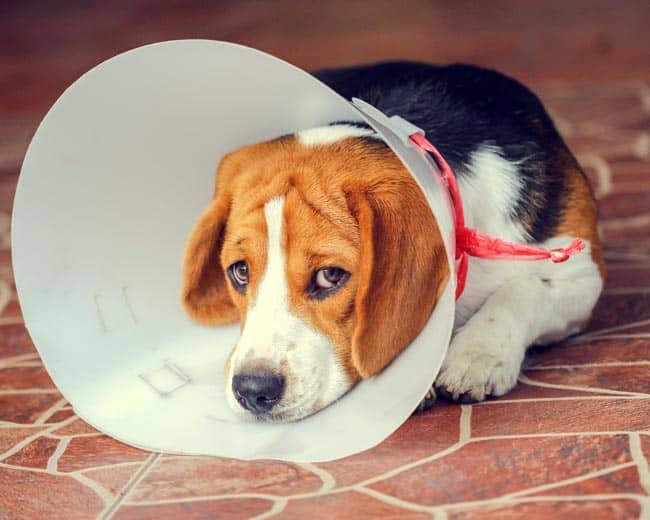 Hund Kastrieren Lassen Pro Contra Einer Kastration Alles Haustier