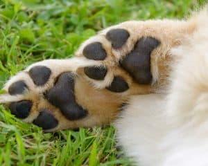 Pfotenlecken beim Hund