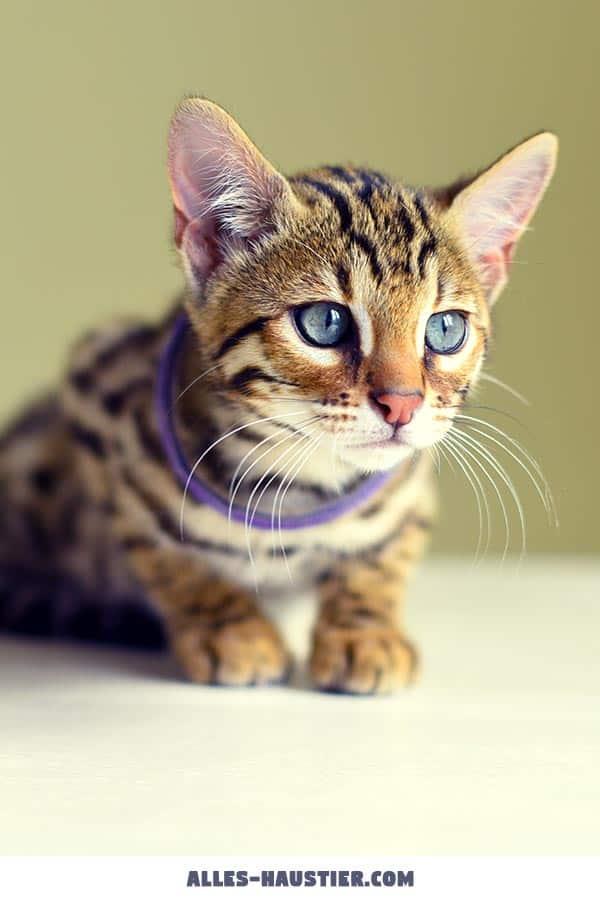 Junger Haustiger mit blauen Augen
