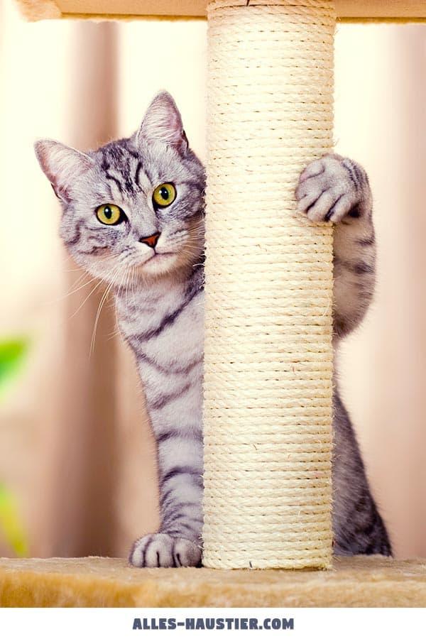 Junge Katze am Kratzbaum