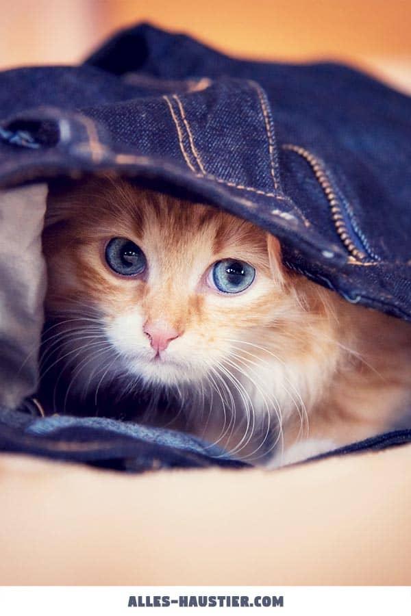 Katzenbaby versteckt sich in jeans