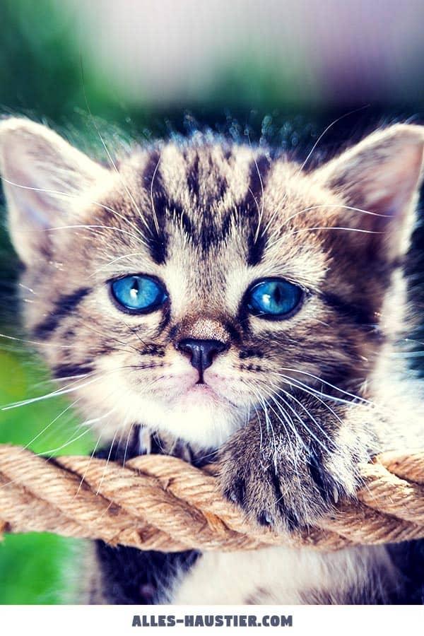 Katzenbaby mit blauen Augen