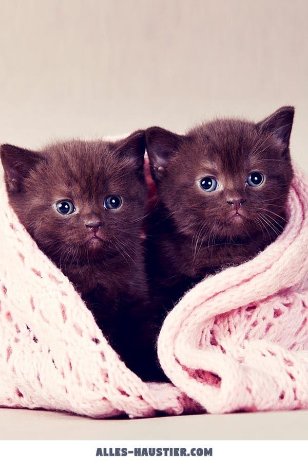 Zwei süße Katzenbabys mit blauen Augen