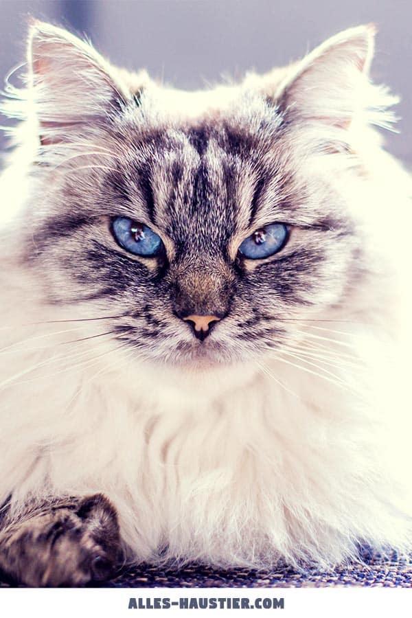 Tolle Katze mit ernsten Blick