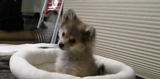 Pomeranian Welpe heult mit Wölfen