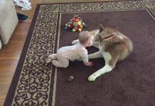 Dieser Siberian Husky spielt sanft mit einem Baby auf dem Teppich