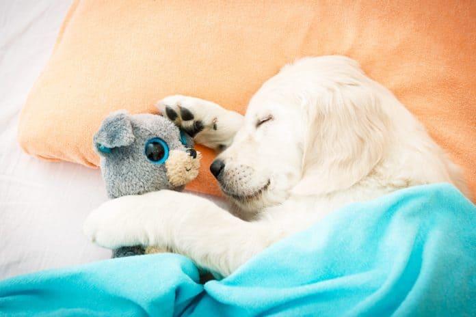 warum-hunde-stofftiere-lieben
